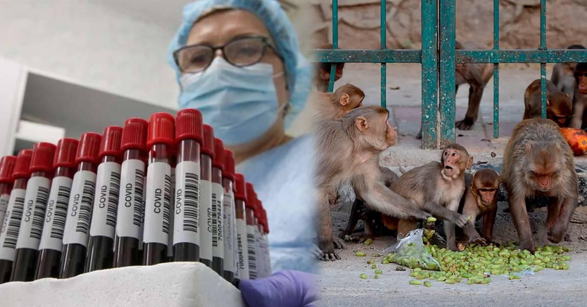 齐天大圣也要要研究COVID-19疫苗?猴子猴孙出手抢夺实验室血液样本!