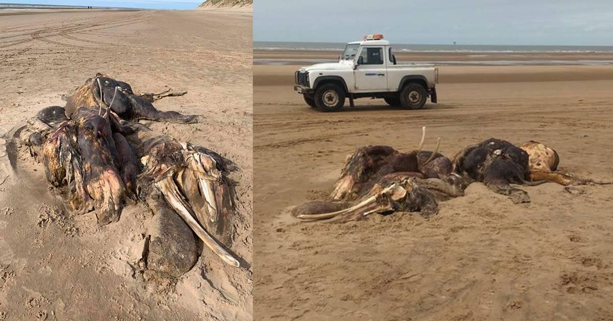 4公尺不明生物横尸英国海滩!有毛有鳍肢,目击者称尸体看起来像是猛犸象!