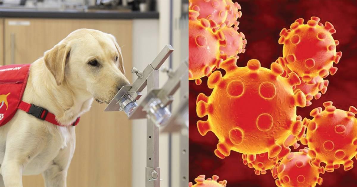 英国培训狗狗闻出新冠病毒?实验成功后将派驻机场检测入境者!