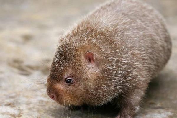 「竹鼠」の画像検索結果