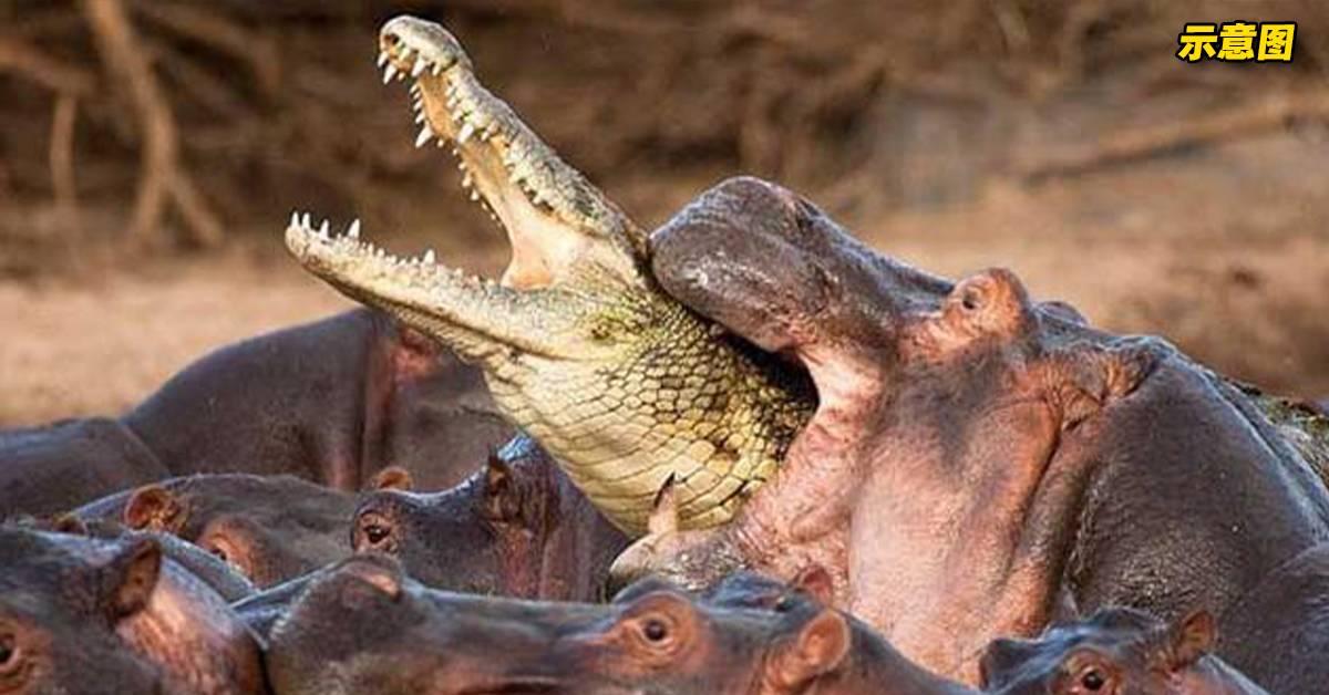 河马脾气其实非常火爆!鳄鱼误闯河马地盘,惨遭围剿!