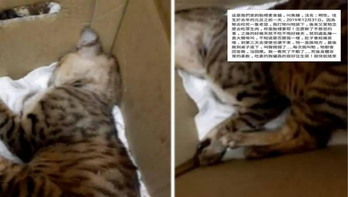 素食者强迫猫咪吃素致死!居然宣称「吃素的猫很好往生」?