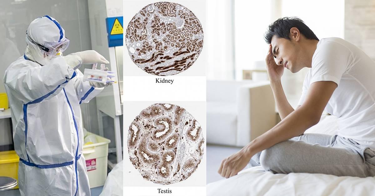 新冠肺炎或以肾作为靶点!伤害肾脏睾丸并影响生殖能力!
