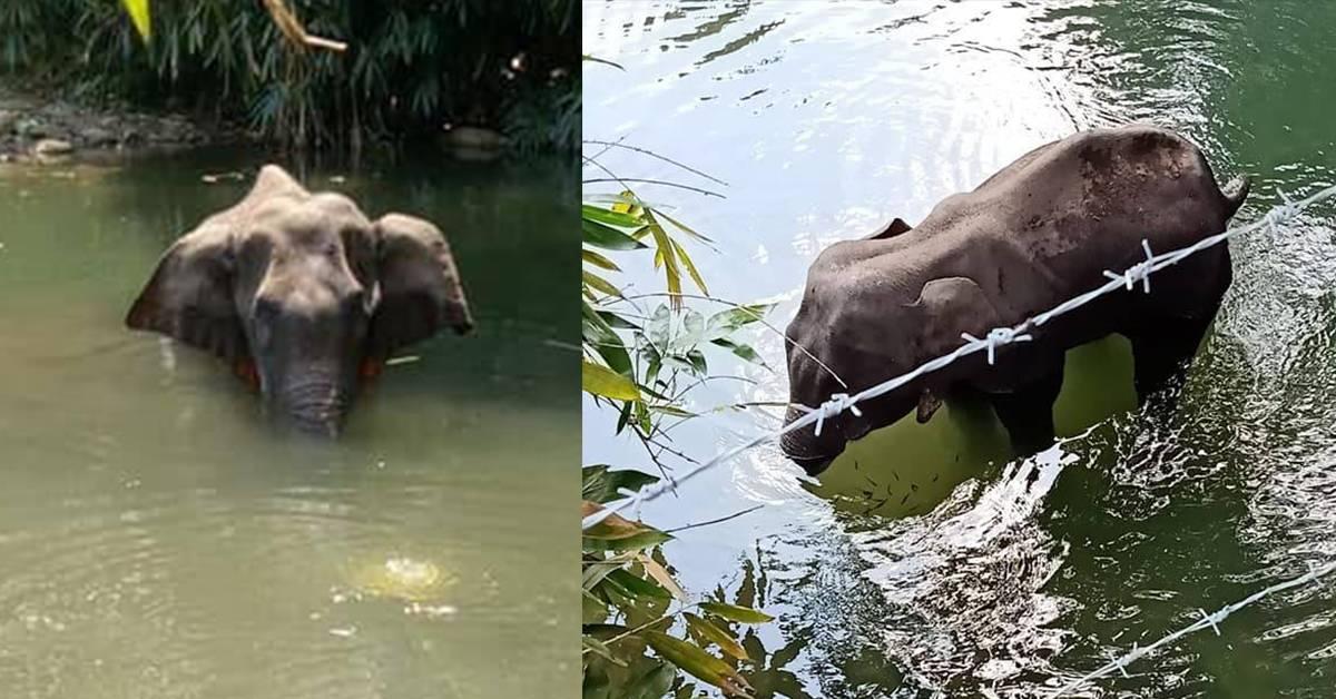 残忍人类喂怀孕大象食鞭炮!伤口严重溃烂活活被饿死!