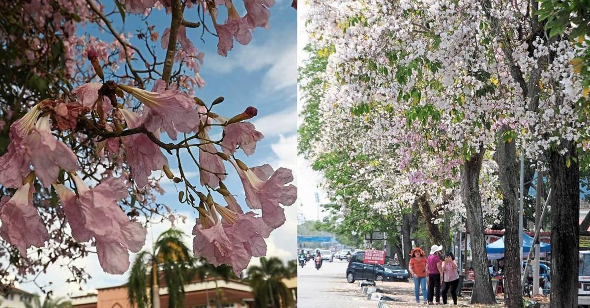 盘点在马来西亚可赏樱花的地点!在这个月份可看到粉白紫色的花瓣铺满道路!