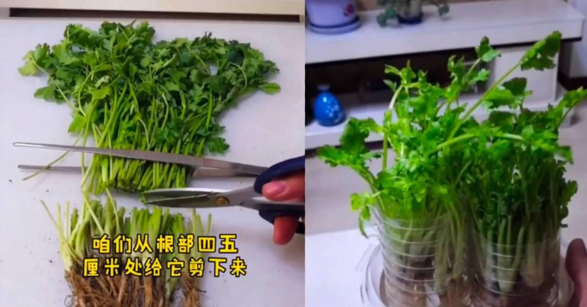 教你用空水瓶种香菜!边吃边种,以后就有吃不完的香菜啦!