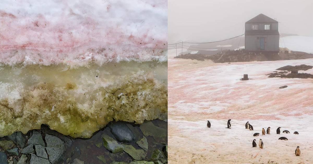 南极的纯白雪地变得又红又绿!变色的原因是什么?
