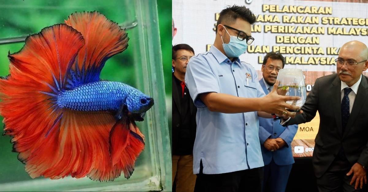 一条打架鱼竟可以被炒到RM1500?网民:家里刚生了一打!快成为百万富翁了!