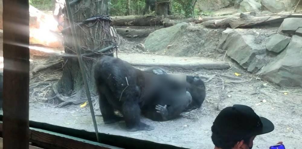 游客看到都脸红了!活泼大猩猩的举动引起儿童不宜!